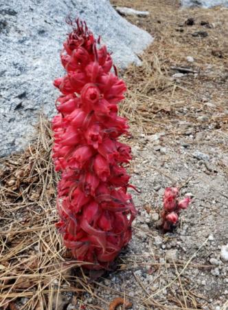 snow plant.png